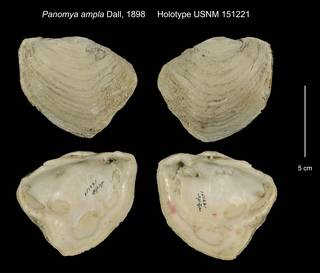 To NMNH Extant Collection (Panomya ampla Holotype USNM 151221)