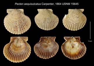 To NMNH Extant Collection (Pecten aequisulcatus USNM 15645)