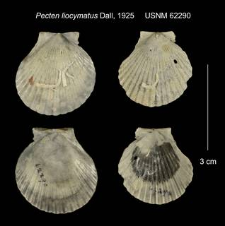 To NMNH Extant Collection (Pecten liocymatus USNM 62290)