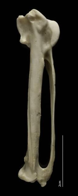 To NMNH Extant Collection (Falconidae (Falcons, Caracaras), USNM 567722, carpometacarpus, dorsal)