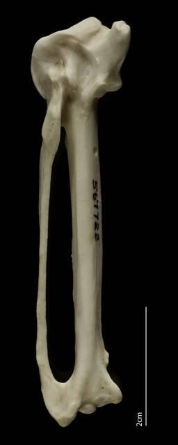 To NMNH Extant Collection (Falconidae (Falcons, Caracaras), USNM 567722, carpometacarpus, ventral)