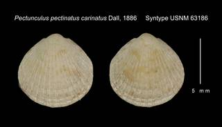 To NMNH Extant Collection (Pectunculus pectinatus carinatus Syntype USNM 63186)