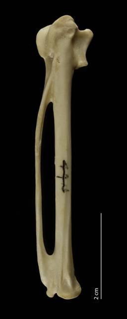 To NMNH Extant Collection (Threskiornithidae (Ibises, Spoonbills), USNM 610612, carpometacarpus, dorsal)