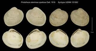To NMNH Extant Collection (Protothaca staminea spatiosa Syntype USNM 151562)