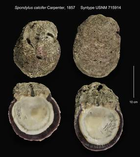 To NMNH Extant Collection (Spondylus calcifer Syntype USNM 715914)