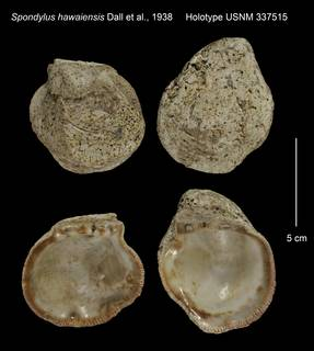 To NMNH Extant Collection (Spondylus hawaiensis Holotype USNM 337515)