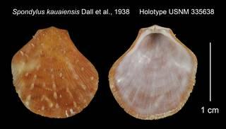To NMNH Extant Collection (Spondylus kauaiensis Holotype USNM 335638)