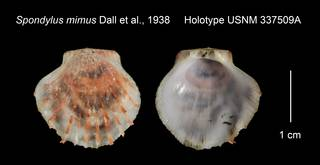 To NMNH Extant Collection (Spondylus mimus Holotype USNM 337509A)