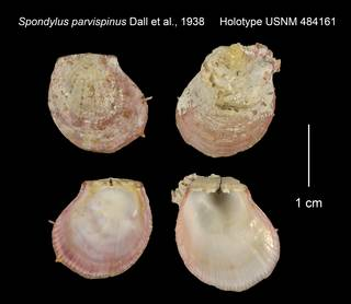 To NMNH Extant Collection (Spondylus parvispinus Holotype USNM 484161)