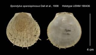 To NMNH Extant Collection (Spondylus sparsispinosus Holotype USNM 190436)