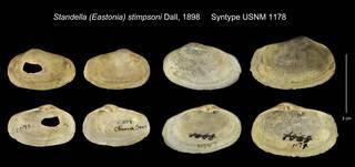 To NMNH Extant Collection (Standella (Eastonia) stimpsoni Syntype USNM 1178)