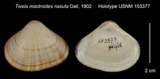 To NMNH Extant Collection (Tivela mactroides nasuta Holotype USNM 153377)