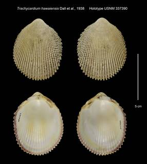 To NMNH Extant Collection (Trachycardium hawaiensis Holotype USNM 337390)