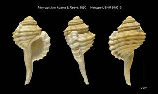 To NMNH Extant Collection (Triton pyrulum Neotype USNM 849015)
