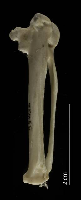 To NMNH Extant Collection (Haematopodidae (Oystercatchers), USNM 554122, carpometacarpus, dorsal)