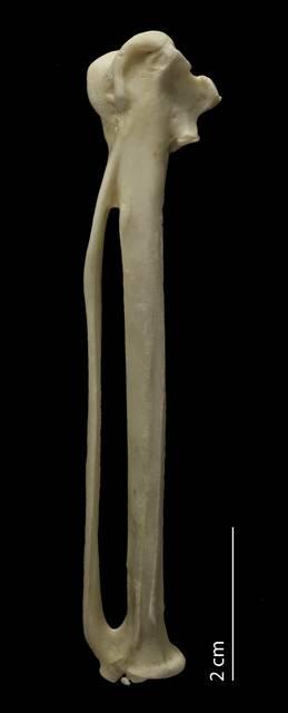 To NMNH Extant Collection (Accipitridae.Pandioninae (Osprey), USNM 610343, carpometacarpus, dorsal)