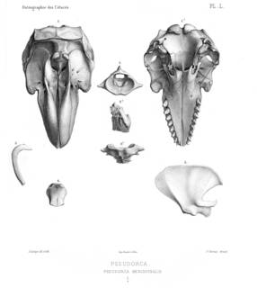 To NMNH Extant Collection (MMP RCS 2986 Pseudorca crassidens skull & partial skeleton)