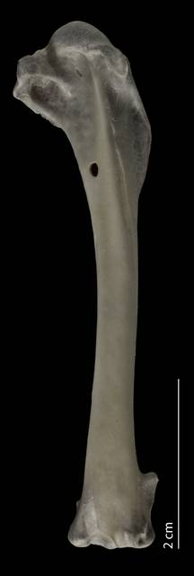 To NMNH Extant Collection (Charadriidae (Plovers), USNM 553648, humerus, caudal)