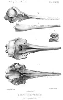 To NMNH Extant Collection (MMP STR 2190 Sousa chinensis skull)