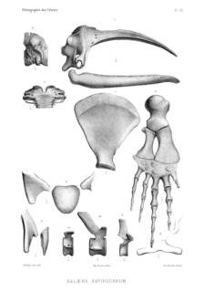 To NMNH Extant Collection (MMP STR 2997 Eubalaena australis skull & skeletal elements)