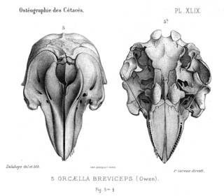 To NMNH Extant Collection (MMP STR 10187 Orcaella brevirostris skull)