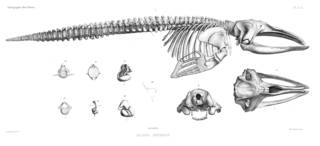 To NMNH Extant Collection (MMP STR 10192 Eubalaena australis skeleton)
