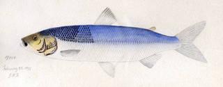 To NMNH Extant Collection (Argyrosomus artedi P01229 illustration)