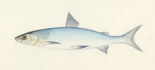 To NMNH Extant Collection (Coregonus P03430 illustration)