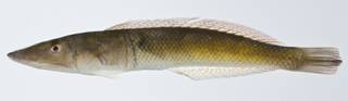 To NMNH Extant Collection (Cheilio inermis USNM 403304 photograph lateral view)