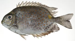To NMNH Extant Collection (Siganus guttatus USNM 403074 photograph lateral view)