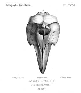 To NMNH Extant Collection (MMP STR 13908 Lagenorhynchus albirostris skull)