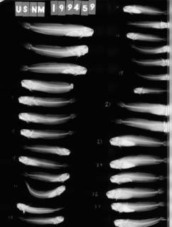 To NMNH Extant Collection (Istiblennius gibbfrons USNM 199459 radiograph 1 of 2 lateral view)