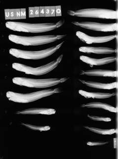 To NMNH Extant Collection (Istiblennius gibbfrons USNM 264370 radiograph lateral view)