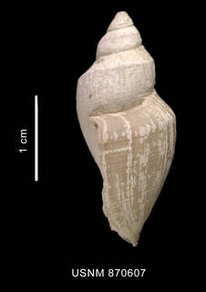 To NMNH Extant Collection (Conorbela antarctica (Strebel, 1908) shell lateral view)