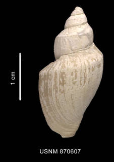 To NMNH Extant Collection (Conorbela antarctica (Strebel, 1908) shell dorsal view)