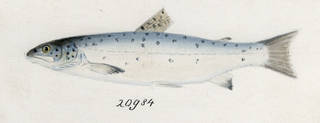 To NMNH Extant Collection (Salmo trutta P19759 illustration)