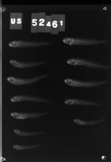 To NMNH Extant Collection (Praealticus triangulatus USNM 52461 radiograph lateral view)