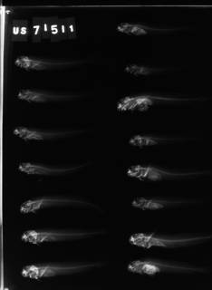 To NMNH Extant Collection (Praealticus triangulatus USNM 71511 radiograph lateral view)