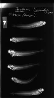 To NMNH Extant Collection (Praealticus triangulatus USNM 144550 radiograph lateral view)