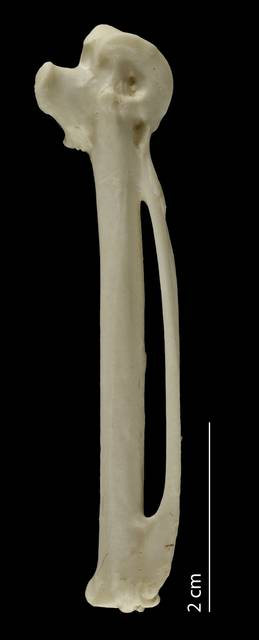 To NMNH Extant Collection (Anatidae (Ducks, Geese, Swans), USNM 621197, carpometacarpus, ventral)