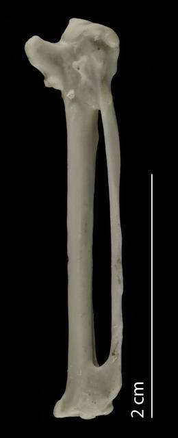 To NMNH Extant Collection (Laridae.Sterninae (Terns), USNM 553303, carpometacarpus, ventral)