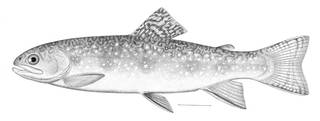 To NMNH Extant Collection (Salvelinus fontinalis P06243 illustration)
