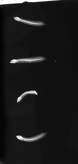To NMNH Extant Collection (Auchenistius stahli USNM 50163 radiograph lateral view)