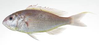 To NMNH Extant Collection (Nemipterus japonicus USNM 403004 photograph lateral view)