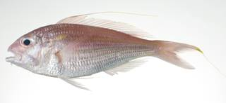 To NMNH Extant Collection (Nemipterus nematophorus USNM 403007 photograph lateral view)