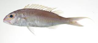 To NMNH Extant Collection (Nemipterus nemurus USNM 403015 photograph lateral view)