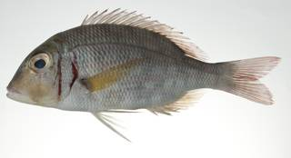 To NMNH Extant Collection (Lethrinus ornatus USNM 403038 photograph lateral view)
