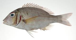 To NMNH Extant Collection (Lethrinus ornatus USNM 403039 photograph lateral view)