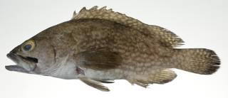 To NMNH Extant Collection (Epinephelus ongus USNM 403064 photograph lateral view)