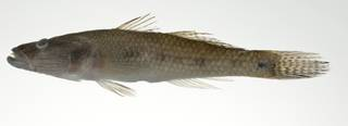 To NMNH Extant Collection (Glossogobius aureus USNM 403096 photograph lateral view)